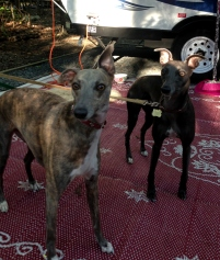 Whippets were 'on guard' entire weekend, squirrel-hunting and coyote-sniffing.